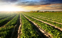 Monsanto GMO Sugarbeets to be Destroyed | Court Concludes USDA Illegally Approved Biotech Crop