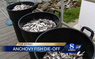 fish anchovies