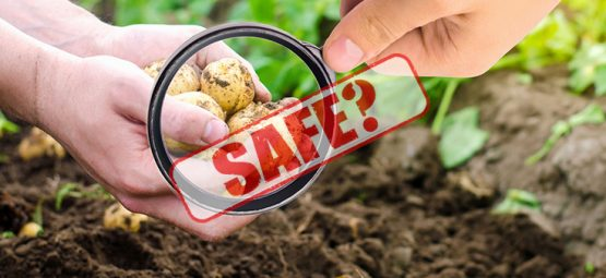 'High Risk' GMO Potatoes on the Market: What the Public Needs to Know