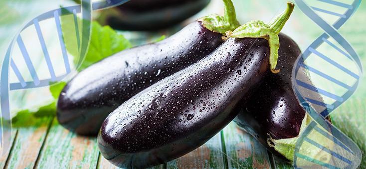 food-eggplant-dna-gmo-735-350