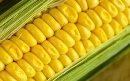 Monsanto's GMO Corn Contributing to Weight Gain, Disrupts Organs