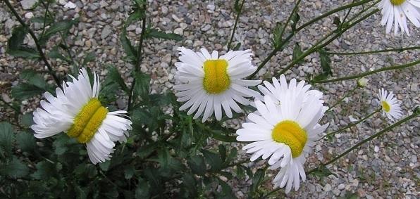 http://naturalsociety.com/wp-content/uploads/fukushima_mutant_daisy.jpg