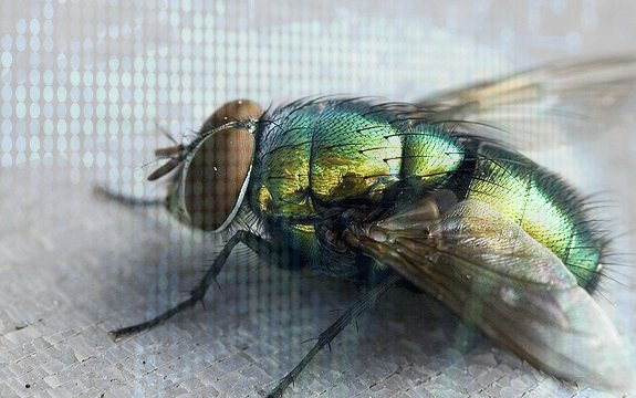 genetically_modified_flies