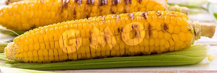 gmo-corn-cob-735-250