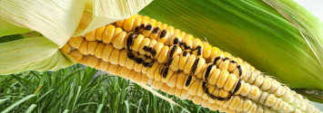 Victory: Another EU Country Extends Ban on GMO Crops