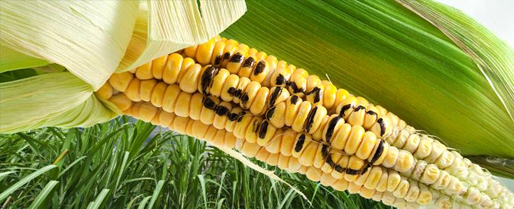 gmo-corn-word-735-300