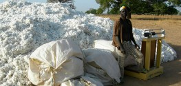 Rejected: Country in West Africa Refuses GMO Bt Cotton