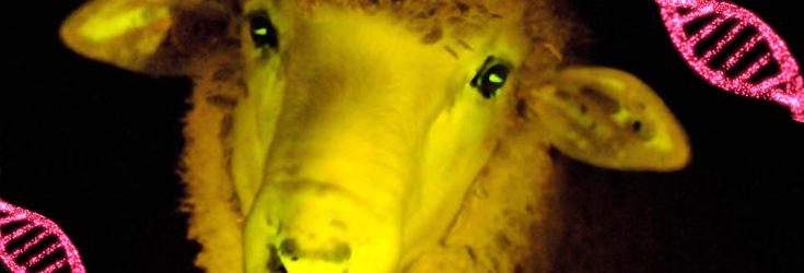 gmo-lamb-735-250-3