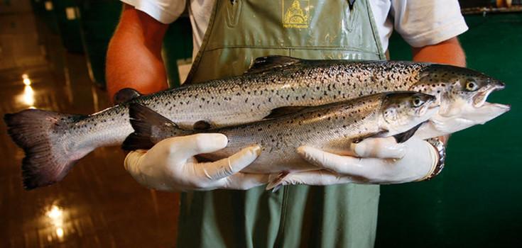 gmo-salmons-735-350
