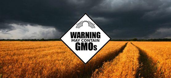 gmo crops wheat