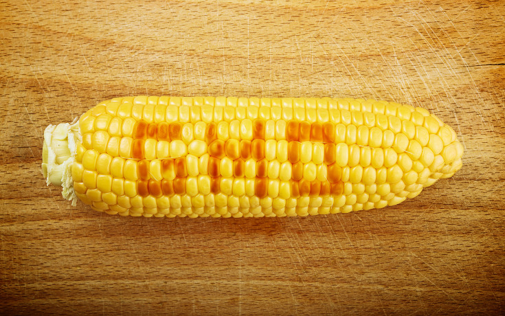 gmo_corn_cob