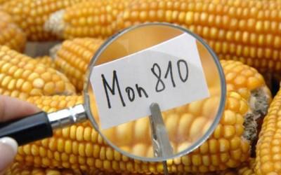 gmo corn MON810