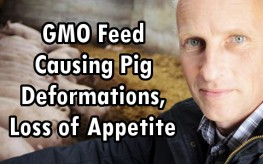 gmo deformed pigs