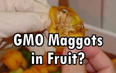 gmo maggots