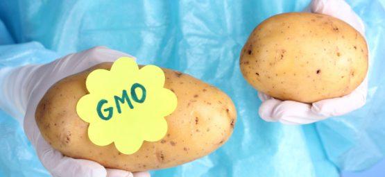 gmo potato