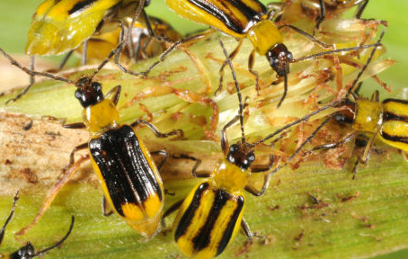 Will superbugs overwhelm insect-resistant GM crops?