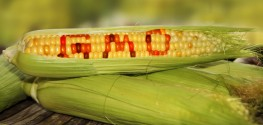 Mexican Government Urged to Ban GM Maize to Protect Environment