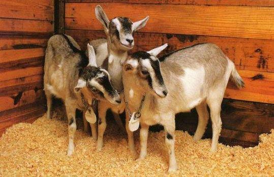 goats_animal_gmo