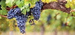 Victory: French Wine No Longer Forcibly Sprayed with Pesticides