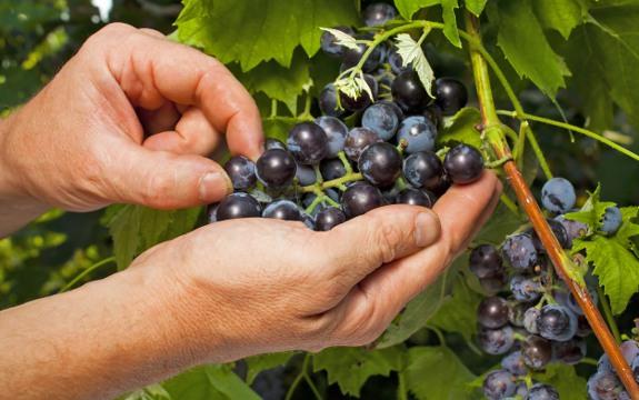 Grape Seed Extract Superior To Anti Diabetes Drug