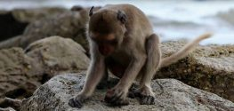 Archaeologists Find Monkeys Have Been Using Tools for 700 Years