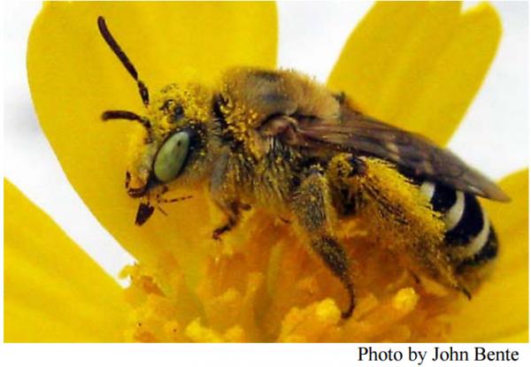 Gulf Coast solitary bee (Hesperapis oraria)