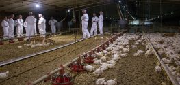 Perdue Farms Releases First Chicken Welfare Report, Says Improvements Being Made