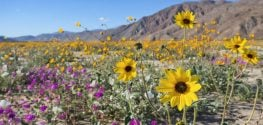 "California Desert ""Superbloom"" is Rare and Beautiful"