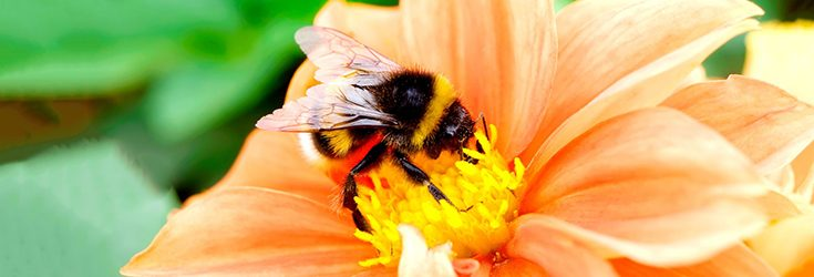 U.S. Bumblebee Gets Federal Protection ... Finally