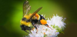 Trump Admin Delays Listing Rusty Patched Bumblebees as Endangered