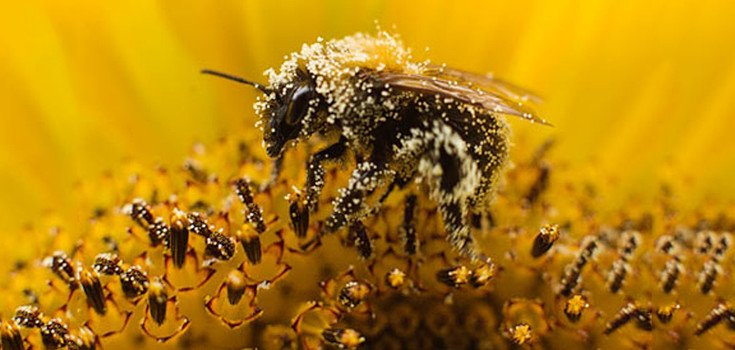 insect-bee-collects-pollen-735-350