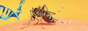 As the Zika Virus Spreads, Genetically Modified Mosquitoes Become more Real