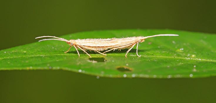 insect-moth-diamondback-735-350