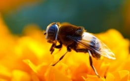 37 Million Bees Found Dead in Canada After Large GMO Crop Planting
