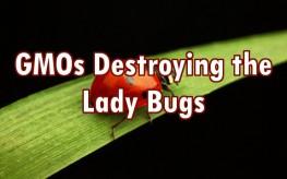 lady bug gmos