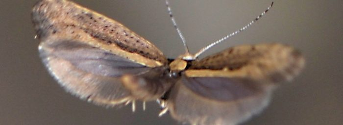 Genetically Modified Moths Released in New York