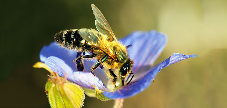 insects-bee-honeybee-735-350