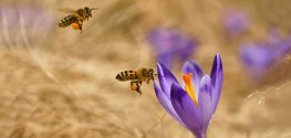 honeybees pollinating flower