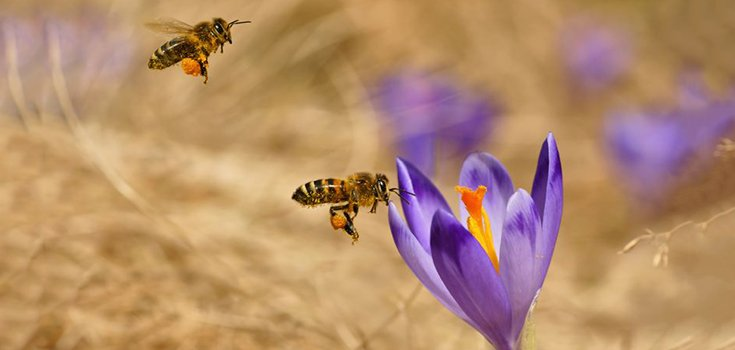 honeybees pollinating flower
