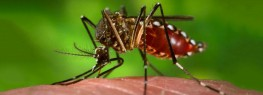 GM Mosquitoes Could End Malaria...or Spread It