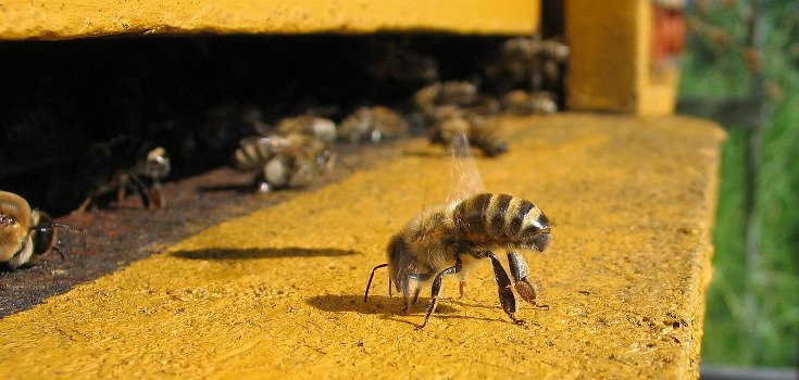 Photo credit: http://en.wikipedia.org/wiki/Colony_collapse_disorder#/media/File:Honeybee-cooling_cropped.jpg
