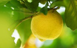 lemon in tree