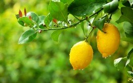 lemons in tree