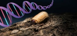 genetically modified maggot