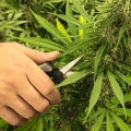 marijuana cutting 735x350