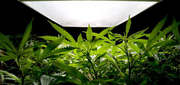 marijuana-weed_735_350