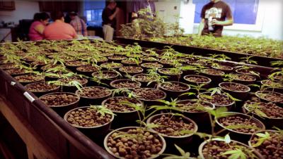 marijuana pots