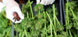 3 Australian States Begin Testing Medical Marijuana Following Demand