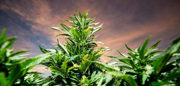 marijuana_weed_pots_735_350