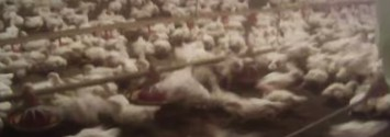 """Video: McDonald's Chicken Supplier Caught """"Stabbing Chickens With Spikes"""""""